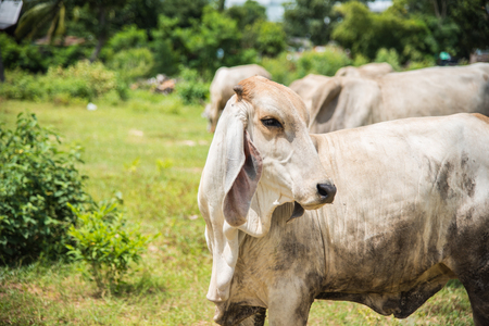 milker: Cow in country,cows on meadow in Thailand