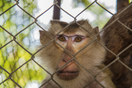 Brown Monkey in cage,Monkey sand in cage
