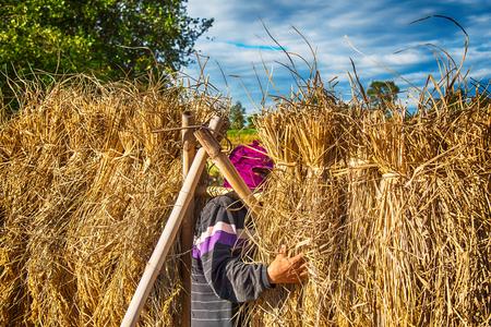 Farmer harvest rice in Thailand.Harvest time last year