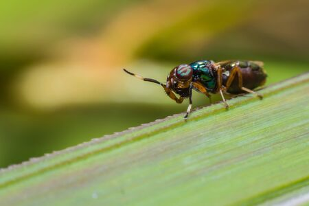 cleg: Close up a fly tabanus (Hybornitra tarandina) soft focus macro view