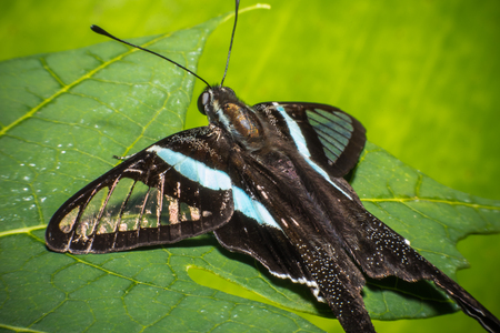 Black beautiful butterfly on leaf in nature