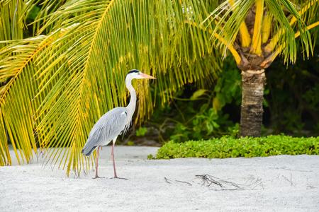 白鷺アダーラン島、モルディブのビーチの上を歩く 写真素材 - 81409894