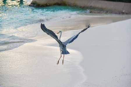 Egret on the beach in ADAARAN Prestige Vadoo,Maldives