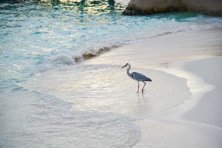 Egret on the beach in ADAARAN Prestige Vadoo,Maldives