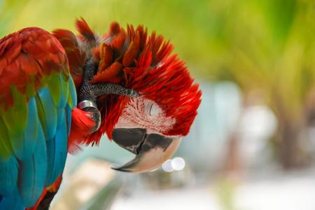 aviary: Greenwinged Macaw aviary, sitting on the tree Stock Photo