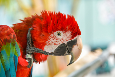 Greenwinged Macaw aviary, sitting on the tree Stock Photo
