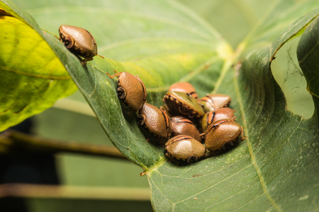 Group of Bug on leaf,Group of Brown Beetle insect sun pest. Eurygaster integriceps Pest of cereal crops  Stock Photo