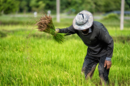 Farmers grow rice in the rainy season. Stock Photo