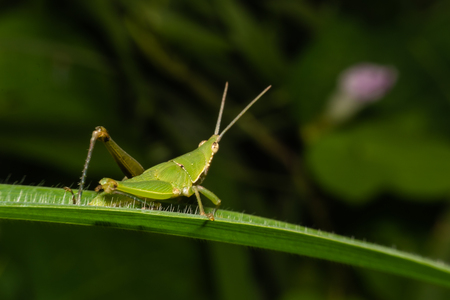 Grasshopper on green leaf in the forest, Grasshopper mate on blade of grass.