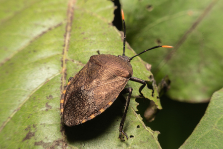 A Brown Marmorated Stink Bug with his distinctive stripped antennae crawling along a light piece of green leaves. 免版税图像