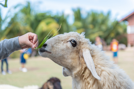 A lamb is eating feed and tourists are feeding lambs in farm. 写真素材