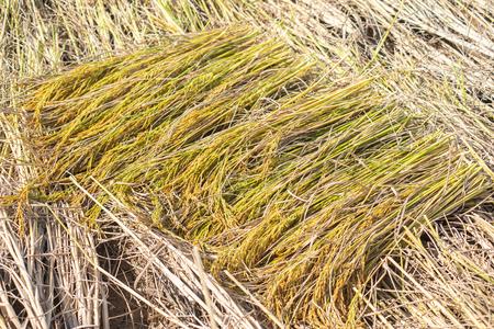 Jasmine rice in the harvest season