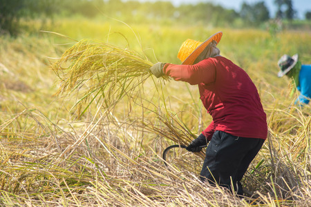 Farmer harvesting in the harvest season.Farmer cutting rice in the fields,Thailand.