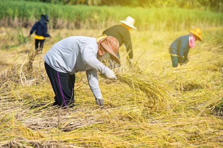 Boer oogsten in het oogstseizoen. Boer snijden rijst in de velden, Thailand. Stockfoto