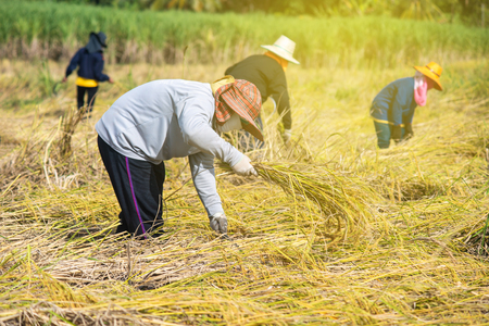 Farmer harvesting in the harvest season.Farmer cutting rice in the fields,Thailand.
