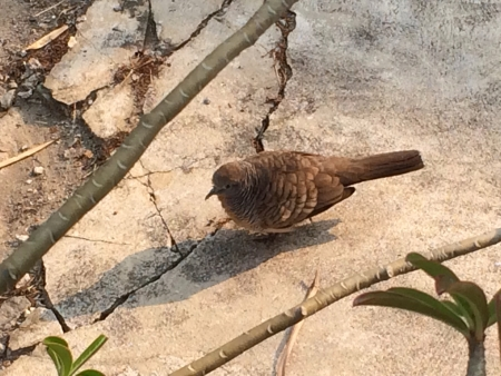 fat bird: Fat brown mountain bird