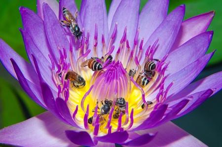 Bee on Purple lotus flower blooming at summer   photo