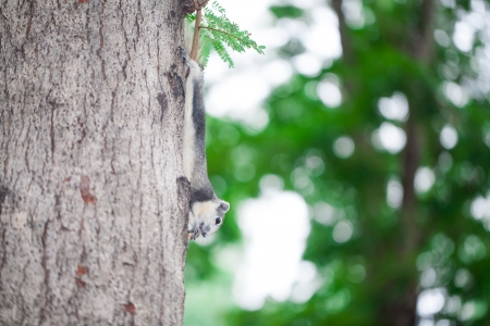 eats: red squirrel eats a nut on tree