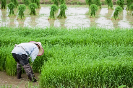Rice Planting, Thai Stock Photo