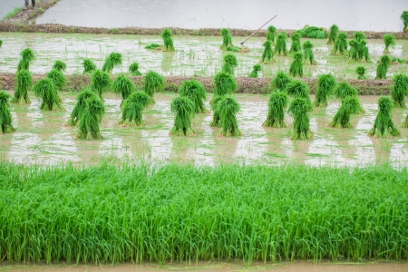 rice paddy prepare for Planting photo