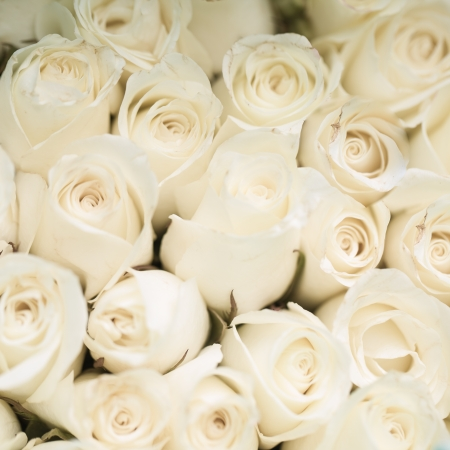 Beautiful white rose background, Love