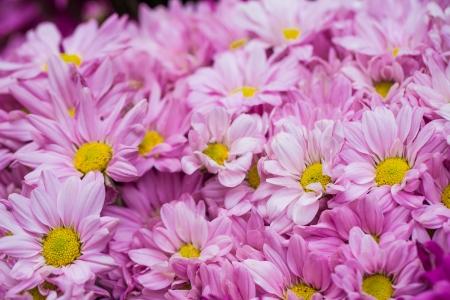 lindi: Beautiful flowers of pink chrysanthemums Stock Photo
