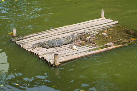 Water monitor lizard sunbathing on bamboo stretcher. sleeping photo