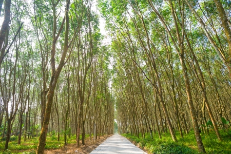 Row of para rubber tree with road photo