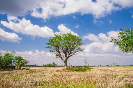 Field,tree and blue sky , rice field Stock Photo