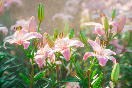 Beautiful Pink lily in garden with water drop, fog Stock Photo