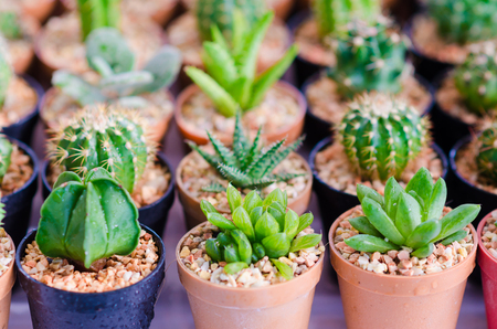 Close up of Cactus plant in flowerpot on wooden table. Stock Photo
