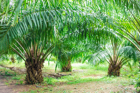 Oil Palm Plantation, Oil palm tree in the field photo