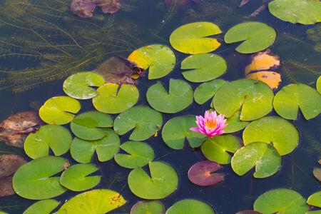 Beautiful lotus flower in blooming at sunset, lotus in pond photo