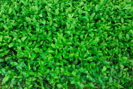 Green leaves of tea background, Close up fresh tea leaves Standard-Bild
