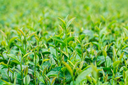 tip of the leaf: Green leaves of tea background, Close up fresh tea leaves Stock Photo
