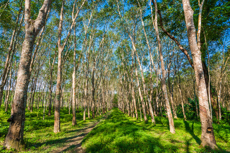 Rubber tree row with blue sky at South of Thailand