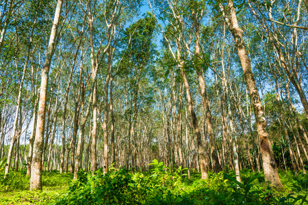 Background of rubber trees, Green leaf blue sky photo