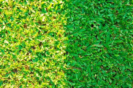 two tone: Dark and bright green grass background texture. Two tone green grass