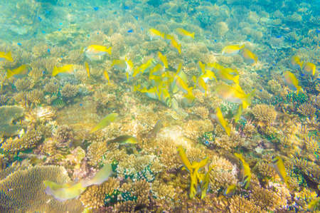 School Yellow Fish, Coral reef with soft and hard corals with exotic fishes photo
