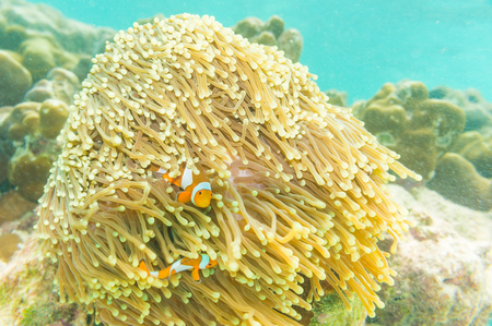 percula: Clown Anemonefish, Amphiprion percula, swimming among the tentacles of its anemone home. Editorial