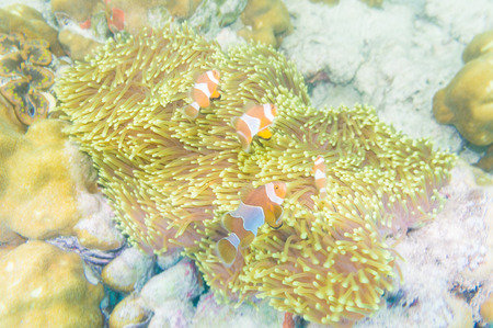 bubble sea anemone: Group of clown fish Nemo in anemone with coral reef colorful host anemone in Thailand