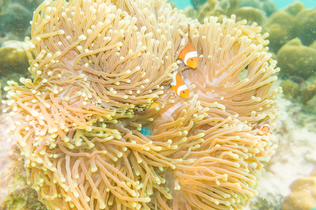 percula: Clown Anemonefish, Amphiprion percula, swimming among the tentacles of its anemone home. Stock Photo
