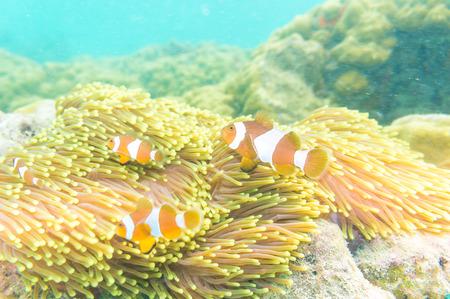 nemo: Clownfish swimming in tentacles of its anemone home. Nemo fish