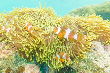 clown anemonefish: Clown Anemonefish, Amphiprion percula, swimming among the tentacles of its anemone home. Stock Photo