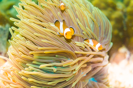 clown anemonefish: Clown Anemonefish Tropical underwater life in the Sea. swimming among the tentacles of its anemone home.
