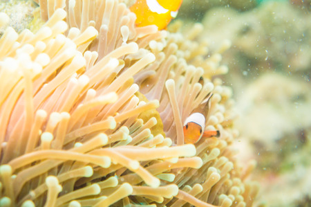 clown fish: Anemone and anemone fish, Pacific Clownfish in a colorful purple host anemone