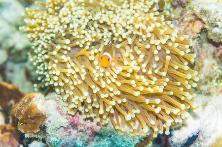 percula: Nemo fish in front of their anemone home. Anemonefish in Andaman Sea, Lipe island, Thailand. Stock Photo