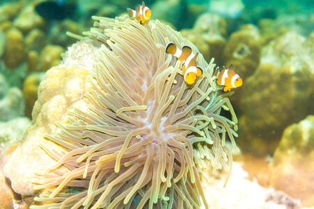 softcoral: Pacific Clownfish in a colorful purple host anemone, clown fish Nemo in anemone Stock Photo