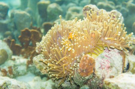 nemo: Nemo fish in front of their anemone home. Anemonefish in Andaman Sea, Lipe island, Thailand. Stock Photo