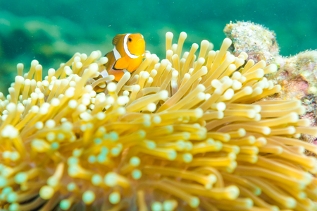 clown anemonefish: Clown Anemonefish, Amphiprion percula, swimming among the tentacles of its anemone home. Lipe island, Satun Thailand